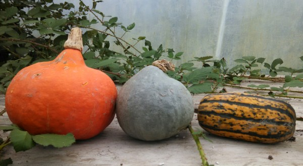 (left - right): Red kuri, blue kuri, & sugar loaf squash