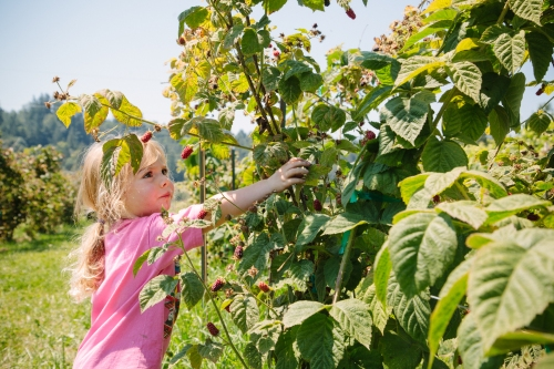Picking berries (photo by Libby Lewis Photography)