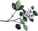 vintage-strawberry-flowers-graphicsfairy.jpg
